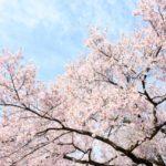 桜が満開 介護と仕事とバイナリー